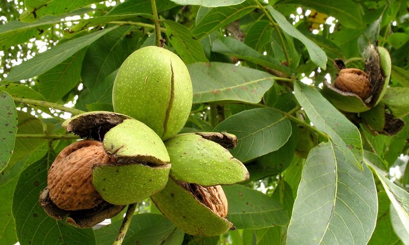 Молодые грецкие орехи на дереве