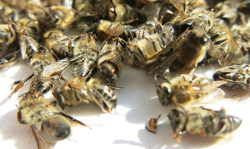 пчелиный подмор при простатите